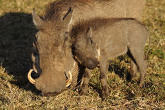 Warthog mother with piglet, Masai Mara Stock Images
