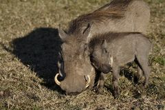 Warthog mother with young, Masai Mara Royalty Free Stock Photo