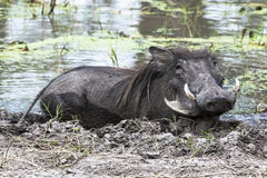 Warthog in mud. Warthog lying in the mud in Botswana Royalty Free Stock Photos