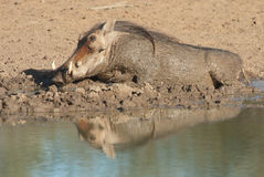 Warthog in mud bath. Pig-like appearance; grey, sparsely haired body; wart-like lumps on face; thin tail with dark tufted tip held erect when running; curved Royalty Free Stock Image