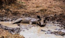 Warthog Mud Bath. A Warthog having a wonderful mud bath on a very hot day stock image