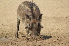 Warthog - Mud shovel Royalty Free Stock Images