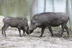 Warthog with piglet  Royalty Free Stock Photography