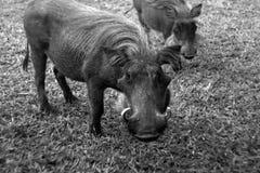Warthog - Murchison下跌NP,乌干达,非洲 免版税库存照片