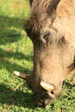 Warthog - Murchison下跌NP,乌干达,非洲 免版税库存图片