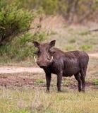 Warthog naß mit Schlamm Lizenzfreies Stockfoto