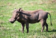 Warthog na sawannie w Ngorongoro kraterze, Tanzania, Afryka. Zdjęcia Stock