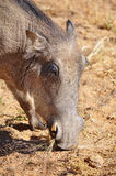 Warthog in Namibia Africa Royalty Free Stock Photo