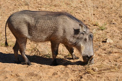 Warthog in Namibia Africa Royalty Free Stock Images