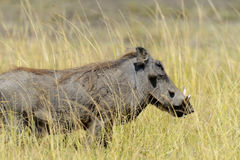 Warthog in National park of Africa. Close warthog in National park of Africa, Kenya Royalty Free Stock Photos