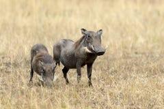Warthog on the National Park, Kenya Royalty Free Stock Image