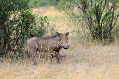 Warthog on the National Park, Kenya Stock Photography
