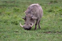 Warthog in national park. Nakuru in Kenya stock photo