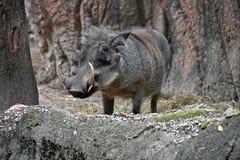 Warthog in natural habitat Stock Photos