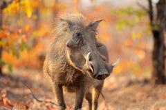 Warthog in natural habitat Royalty Free Stock Image