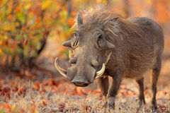 Warthog in natural habitat. Warthog (Phacochoerus africanus) in natural habitat, Kruger National Park, South Africa Royalty Free Stock Photos
