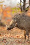 Warthog in natural habitat Royalty Free Stock Photo