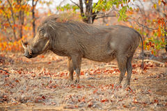 Warthog in natural habitat. Warthog (Phacochoerus africanus) in natural habitat, Kruger National Park, South Africa Stock Photography