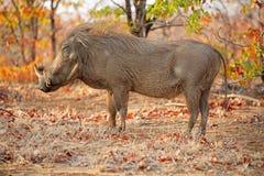 Warthog in natural habitat. Warthog (Phacochoerus africanus) in natural habitat, Kruger National Park, South Africa stock photography