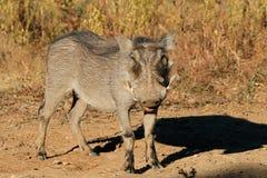 Warthog in natural habitat Stock Images