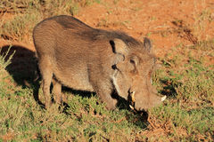 Warthog in natural habitat Royalty Free Stock Images