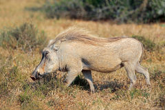 Warthog in natural habitat Stock Images
