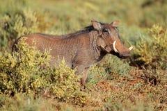 Warthog in natural habitat Stock Image
