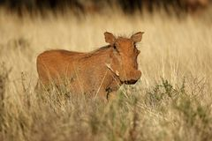 Warthog in natural habitat - South Africa Stock Photo
