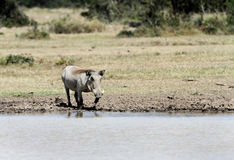 A warthog near a water hole Royalty Free Stock Photography