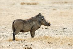 Warthog, in the Ngorongoro Crater, Tanzania Royalty Free Stock Photography