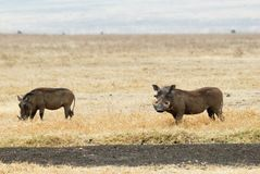 Warthog, in the Ngorongoro Crater, Tanzania Royalty Free Stock Photo
