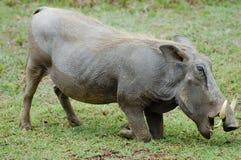 Warthog - Ngorongoro Crater - Tanzania. Warthog in Ngorongoro Crater - Tanzania Stock Photography