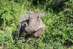 Warthog no arbusto Foto de Stock Royalty Free