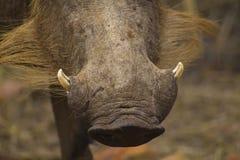 Warthog nos z kłami Obrazy Royalty Free