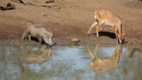 Warthog and nyala antelope drinking Stock Photography