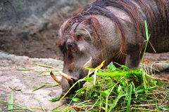 Warthog o warthog comune Fotografia Stock Libera da Diritti