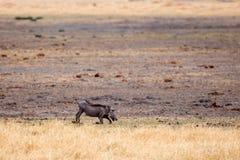 Warthog - Okavango三角洲- Moremi N P 图库摄影