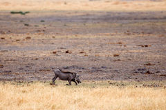 Warthog - Okavango Delta - Moremi N.P. Stock Photography