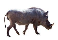 Warthog  over white. Warthog (Phacochoerus africanus). Isolated over white Royalty Free Stock Images