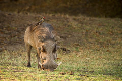 Warthog with Oxpecker Stock Photo