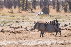 Warthog and Oxpeckers. Warthog (Phacochoerus africanus) with multiple Oxpeckers (Buphagus) riding on back, Botswana Stock Images