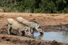 Warthog Pair Royalty Free Stock Photo