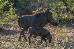 Warthog Pair Royalty Free Stock Photography