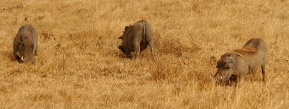 Warthog Panorama. Warthogs grazing on the savannah royalty free stock photos