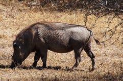 Warthog pasa na Afrykańskiej sawannie Fotografia Stock