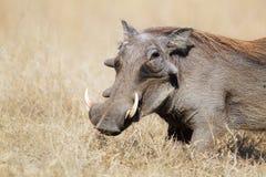 Warthog in pascoli fotografie stock