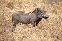 Warthog (Phacochoeros africanus) Obraz Stock
