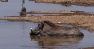 Warthog, phacochoerus aethiopicus, Adult having Bath, Nairobi Park in Kenya, real Time. 4K stock video
