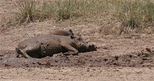 Warthog, phacochoerus aethiopicus, Adult having Mud Bath, Nairobi Park in Kenya, real Time. 4K stock footage