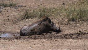 Warthog, phacochoerus aethiopicus, Adult having Mud Bath, Nairobi Park in Kenya,. Slow motion stock footage